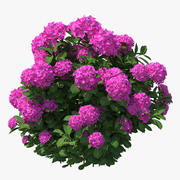 Hydrangea Macrophylla Pink Annabelle 3d model