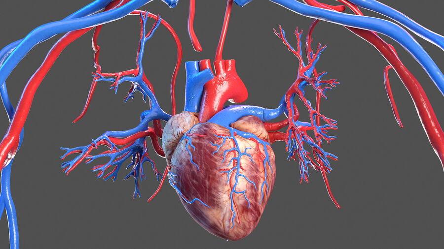 Anatomie du système cardiovasculaire féminin royalty-free 3d model - Preview no. 10