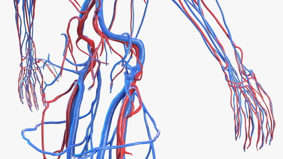 Anatomie du système cardiovasculaire féminin royalty-free 3d model - Preview no. 20
