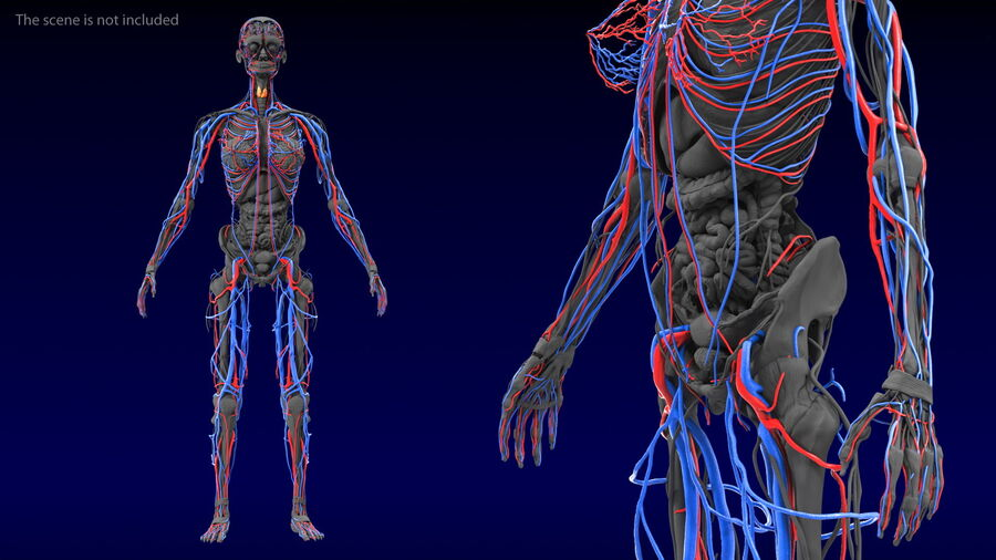 Anatomie du système cardiovasculaire féminin royalty-free 3d model - Preview no. 3