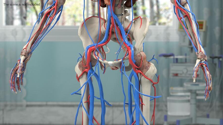 Anatomie du système cardiovasculaire féminin royalty-free 3d model - Preview no. 5