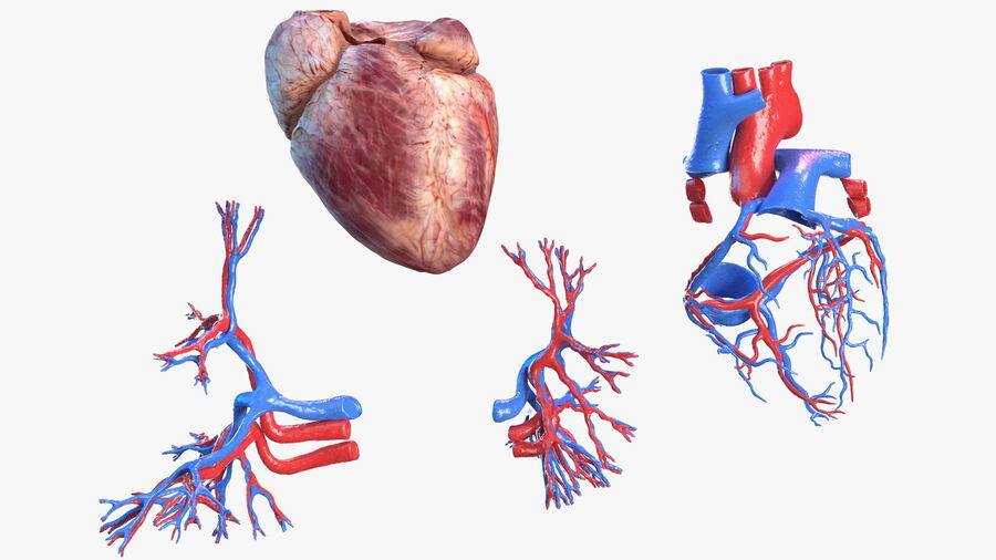 Anatomie du système cardiovasculaire féminin royalty-free 3d model - Preview no. 22