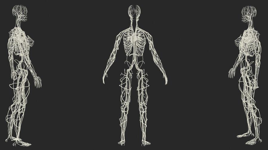 Anatomie du système cardiovasculaire féminin royalty-free 3d model - Preview no. 33