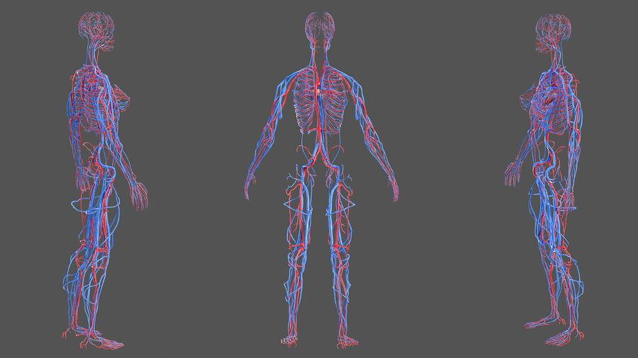 Anatomie du système cardiovasculaire féminin royalty-free 3d model - Preview no. 6