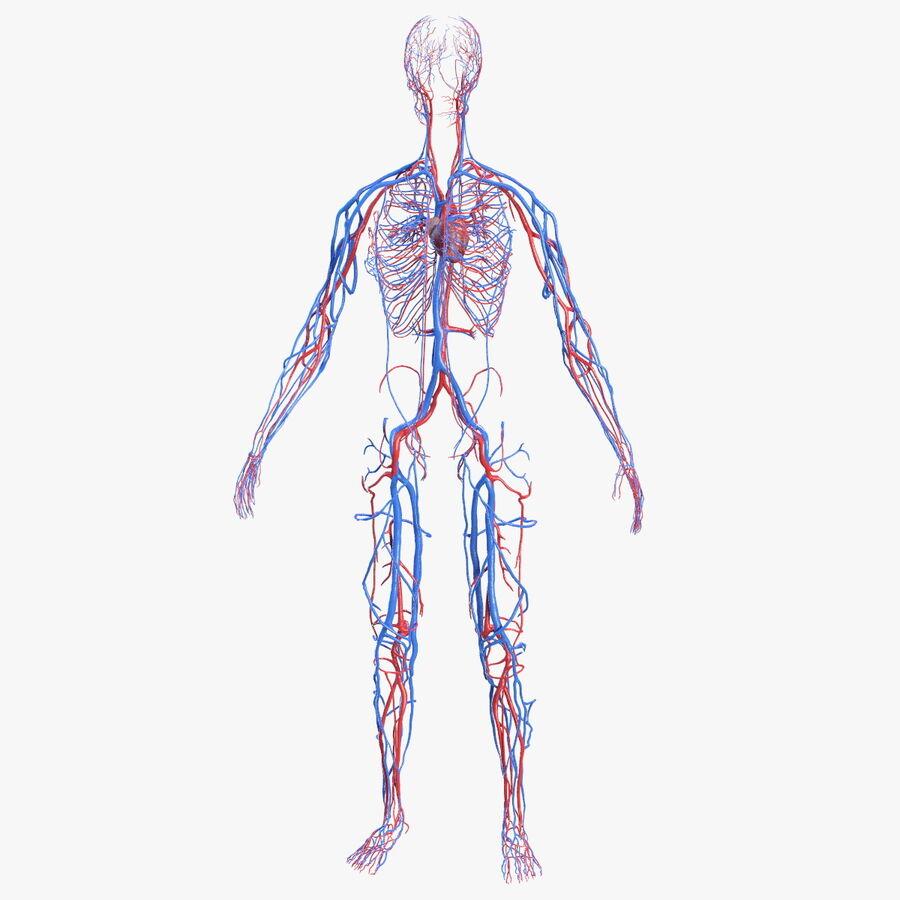 Anatomie du système cardiovasculaire féminin royalty-free 3d model - Preview no. 1