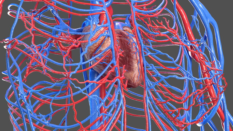 Anatomie du système cardiovasculaire féminin royalty-free 3d model - Preview no. 8