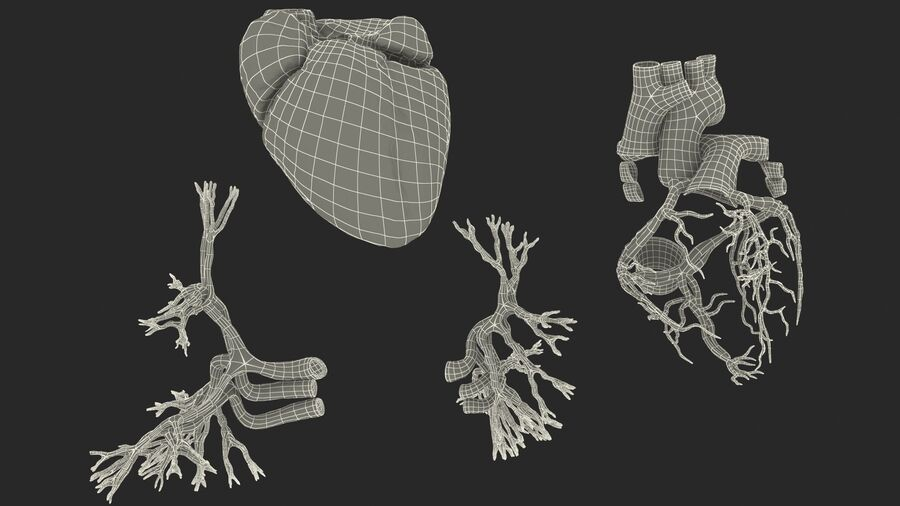Anatomie du système cardiovasculaire féminin royalty-free 3d model - Preview no. 39