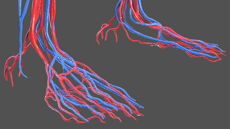 Anatomie du système cardiovasculaire féminin royalty-free 3d model - Preview no. 17