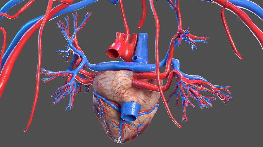 Anatomie du système cardiovasculaire féminin royalty-free 3d model - Preview no. 11