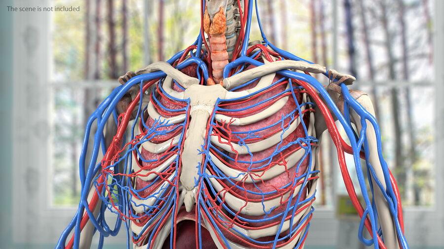 Anatomie du système cardiovasculaire féminin royalty-free 3d model - Preview no. 4
