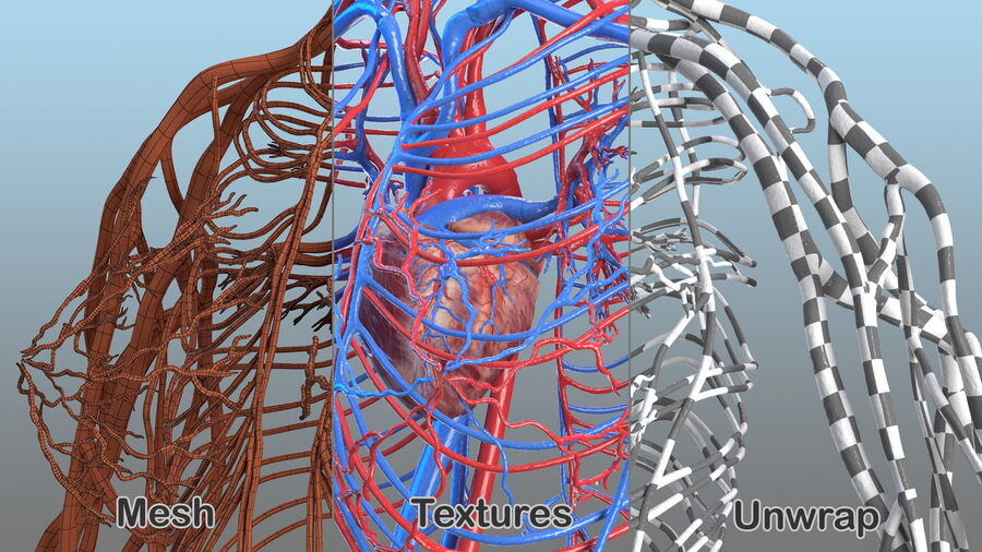 Anatomie du système cardiovasculaire féminin royalty-free 3d model - Preview no. 23