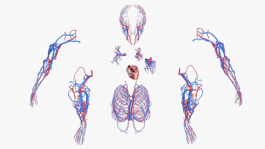 Anatomie du système cardiovasculaire féminin royalty-free 3d model - Preview no. 21