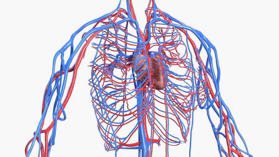 Anatomie du système cardiovasculaire féminin royalty-free 3d model - Preview no. 18