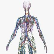 Vrouwelijke bloedsomloop en lymfatisch systeem anatomie 3d model