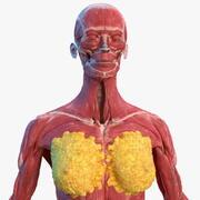 Kvinnlig muskuloskeletala anatomi 3d model