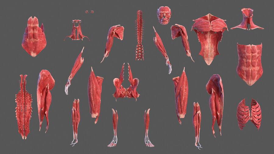 Volledige anatomie van het vrouwelijk lichaam royalty-free 3d model - Preview no. 11
