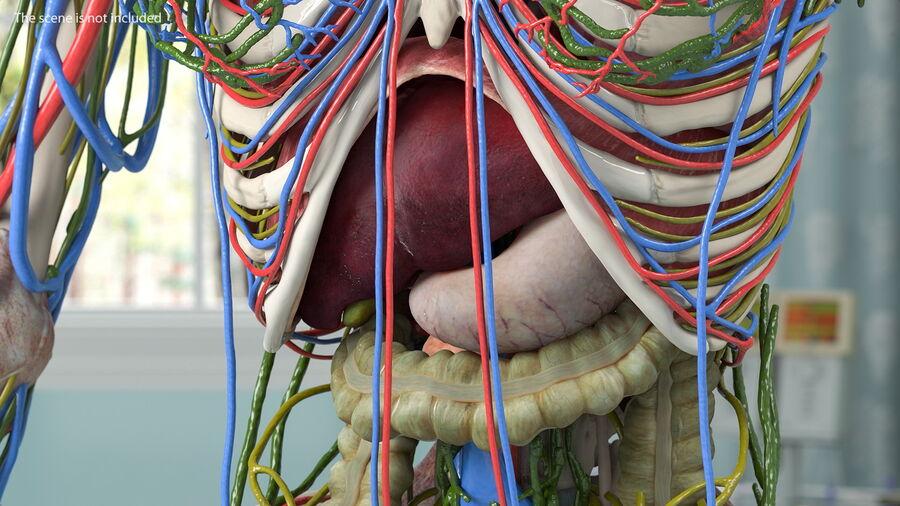 Volledige anatomie van het vrouwelijk lichaam royalty-free 3d model - Preview no. 15