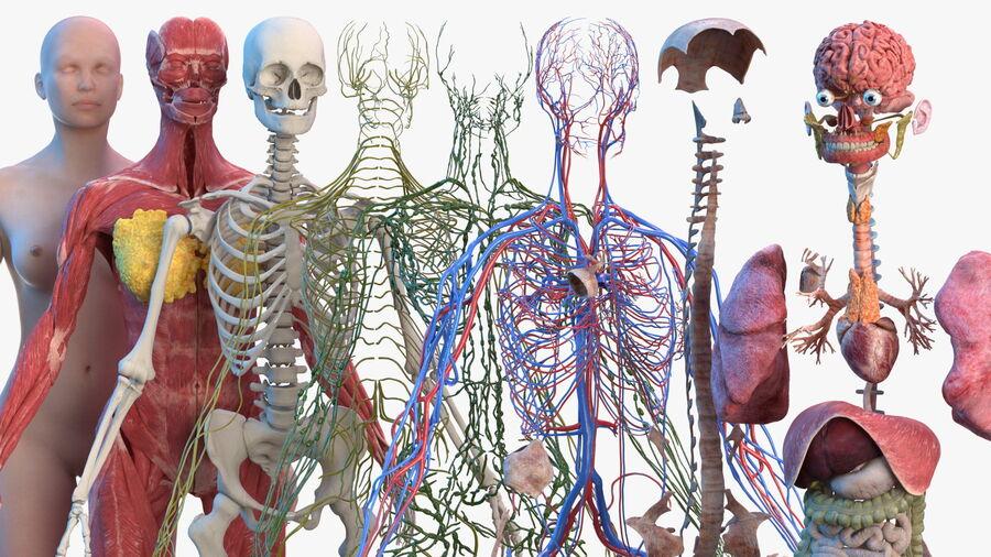 Volledige anatomie van het vrouwelijk lichaam royalty-free 3d model - Preview no. 51