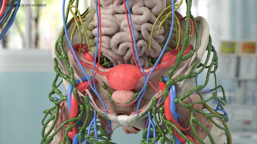 Volledige anatomie van het vrouwelijk lichaam royalty-free 3d model - Preview no. 28