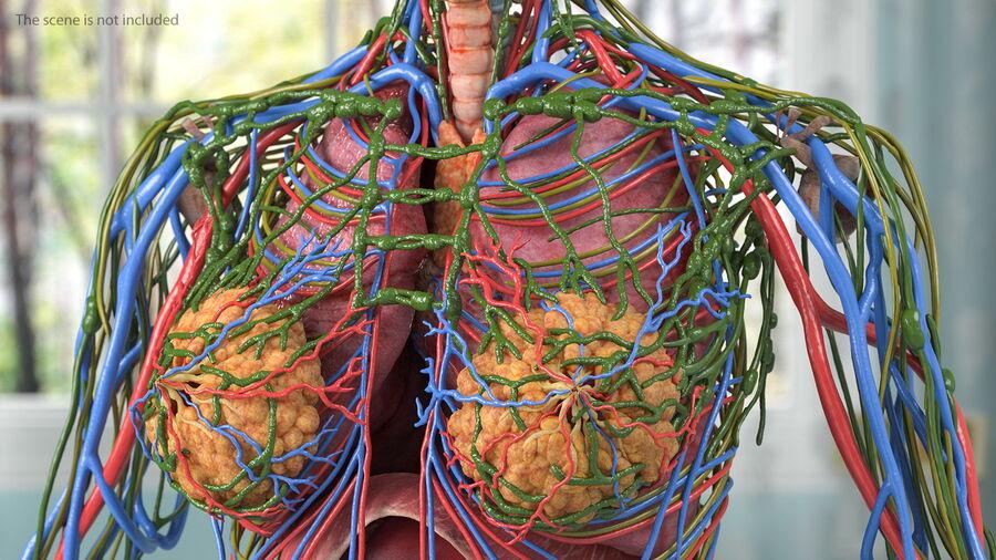 Volledige anatomie van het vrouwelijk lichaam royalty-free 3d model - Preview no. 14