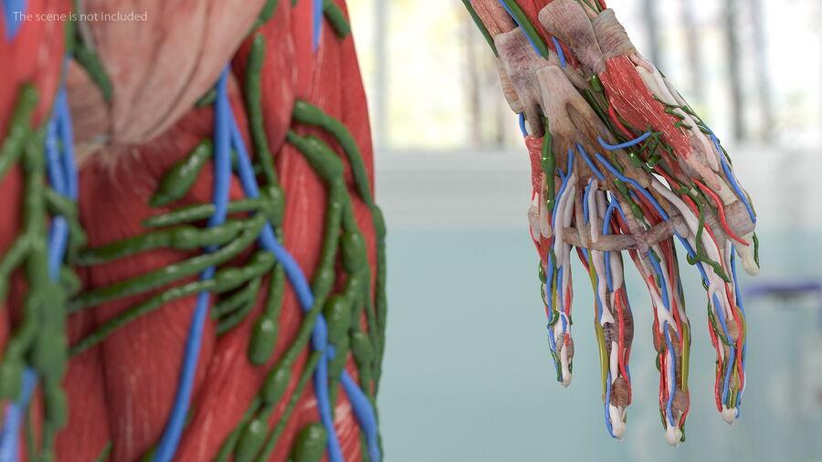 Volledige anatomie van het vrouwelijk lichaam royalty-free 3d model - Preview no. 39