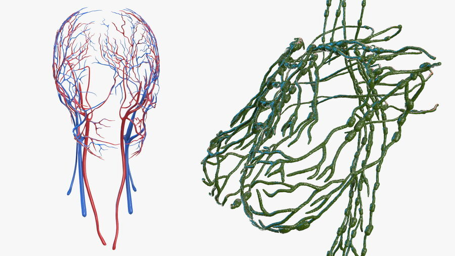 Volledige anatomie van het vrouwelijk lichaam royalty-free 3d model - Preview no. 49
