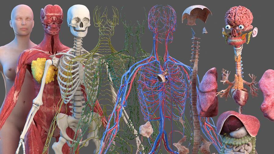 Volledige anatomie van het vrouwelijk lichaam royalty-free 3d model - Preview no. 6