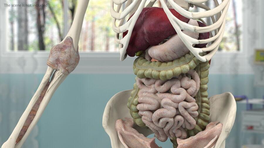 Volledige anatomie van het vrouwelijk lichaam royalty-free 3d model - Preview no. 31