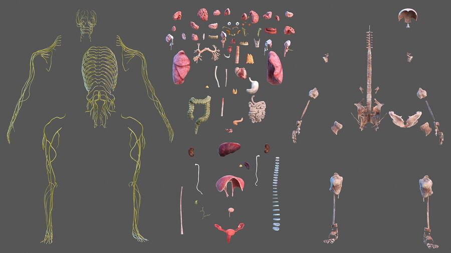 Volledige anatomie van het vrouwelijk lichaam royalty-free 3d model - Preview no. 7
