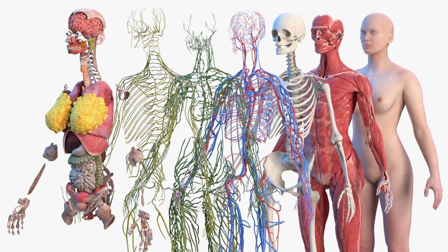 Volledige anatomie van het vrouwelijk lichaam royalty-free 3d model - Preview no. 50