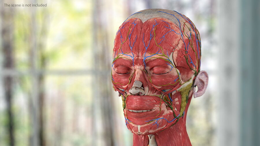 Volledige anatomie van het vrouwelijk lichaam royalty-free 3d model - Preview no. 22