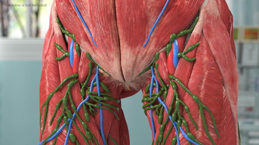 Volledige anatomie van het vrouwelijk lichaam royalty-free 3d model - Preview no. 26