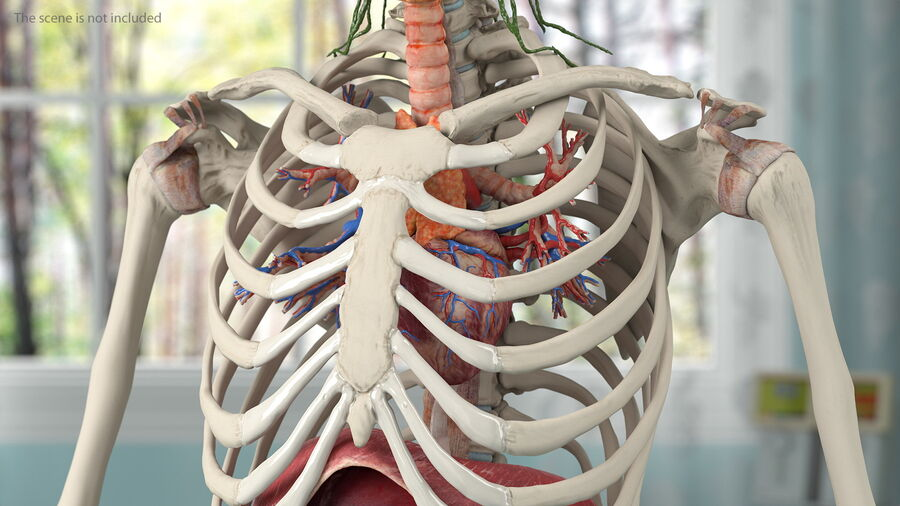 Volledige anatomie van het vrouwelijk lichaam royalty-free 3d model - Preview no. 16