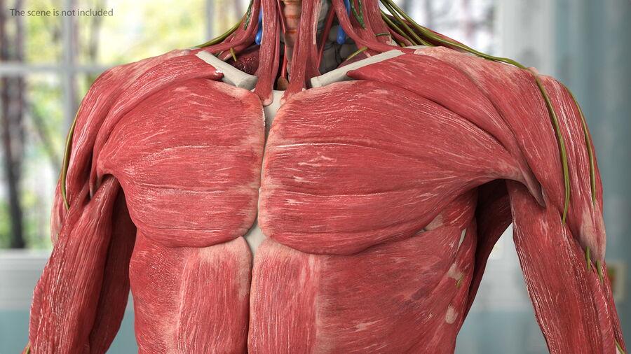 Volledige anatomie van het vrouwelijk lichaam royalty-free 3d model - Preview no. 13