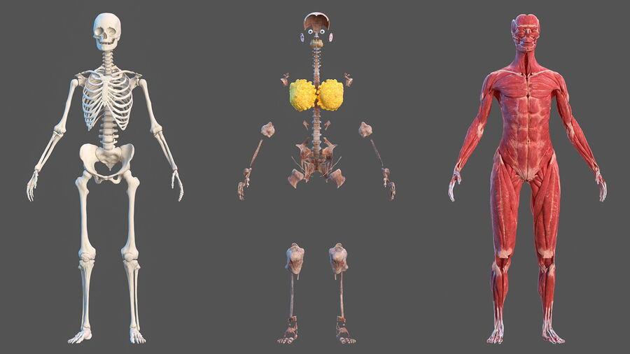 Volledige anatomie van het vrouwelijk lichaam royalty-free 3d model - Preview no. 10
