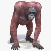 Hembra de orangután modelo 3d