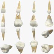 Realistic Human Teeth Collection 3d model