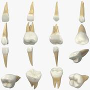 现实的人类牙齿收藏 3d model