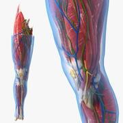 Knee Human Anatomy 3d model