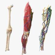 Músculos e ossos do joelho 3d model