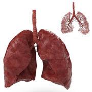 Sistema respiratorio 3d model