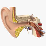 Human Ear Anatomy Structure 3d model