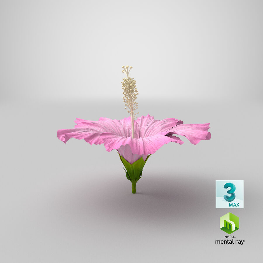 Hibiscus Flower Pink royalty-free 3d model - Preview no. 6