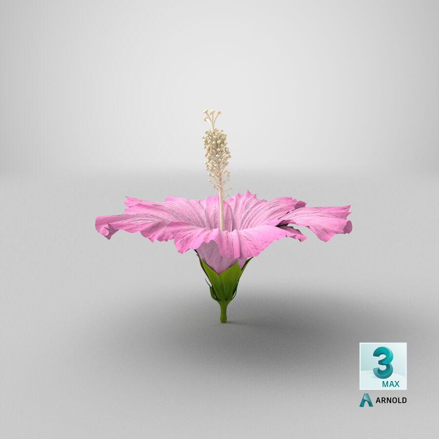Hibiscus Flower Pink royalty-free 3d model - Preview no. 5