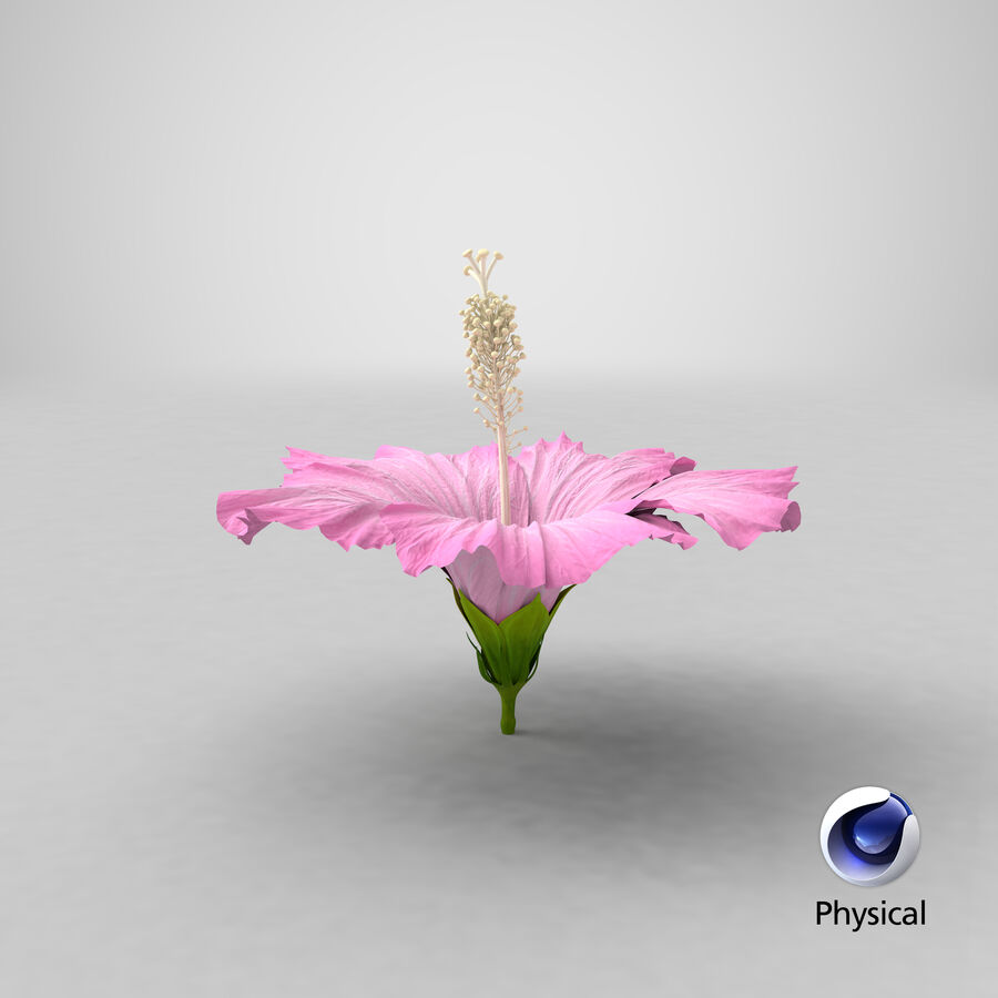 Hibiscus Flower Pink royalty-free 3d model - Preview no. 1