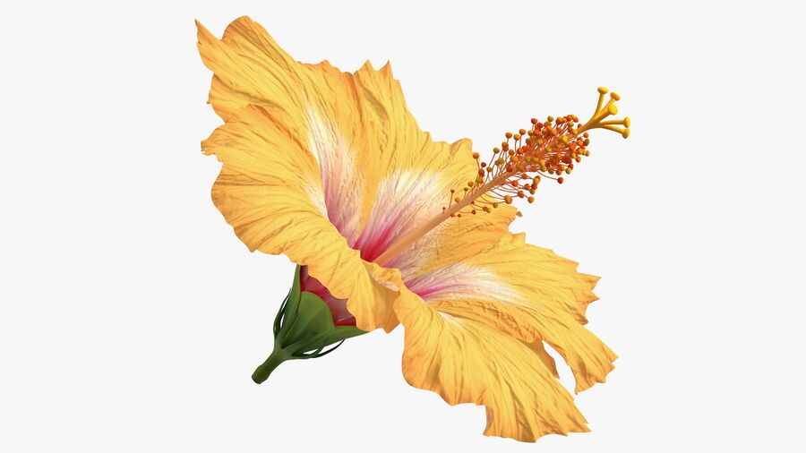 Blooming Hibiscus Flower Orange royalty-free 3d model - Preview no. 2