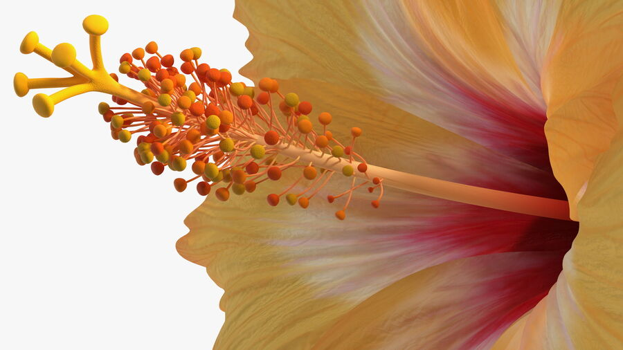 Blooming Hibiscus Flower Orange royalty-free 3d model - Preview no. 13