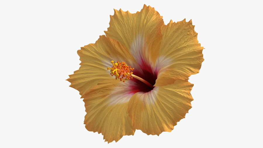Blooming Hibiscus Flower Orange royalty-free 3d model - Preview no. 10