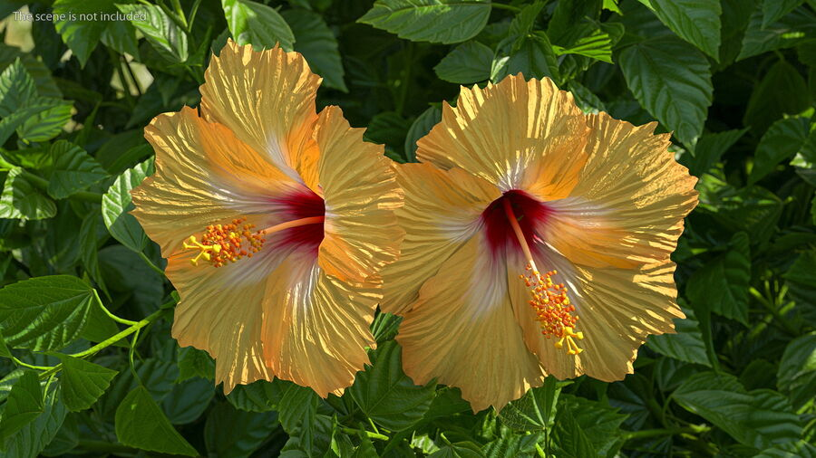 Blooming Hibiscus Flower Orange royalty-free 3d model - Preview no. 5