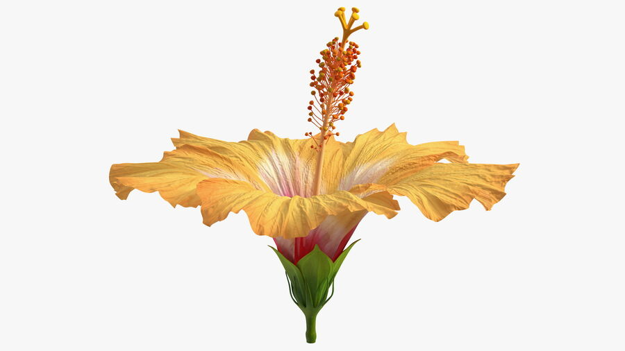 Blooming Hibiscus Flower Orange royalty-free 3d model - Preview no. 9